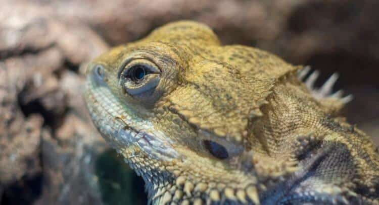 why isn't my bearded dragon eating? brumation could be one reason