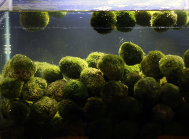 Way too many marimo.  Keep to between 1-3 marimo moss balls per gallon or less