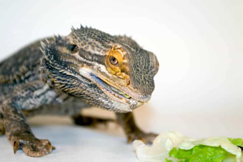 Can bearded dragons eat lettuce?