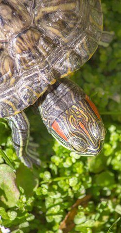 How To Fix Shell Rot In Red Eared Sliders Tiny Underwater