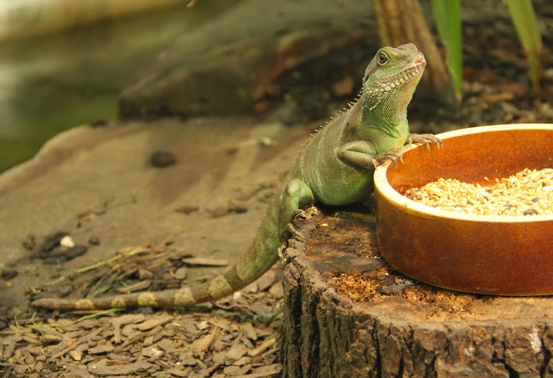 Chinese water dragon care is important to their longevity.