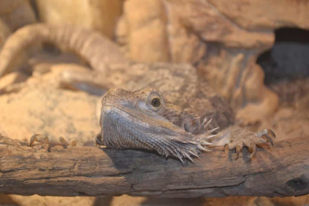 Are bearded dragons friendly?  They are quite docile, but each has its own personality.