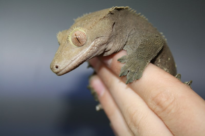 Do crested geckos like to be held?