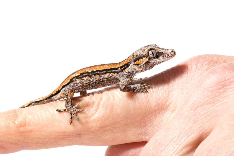 Gargoyle gecko care and handling