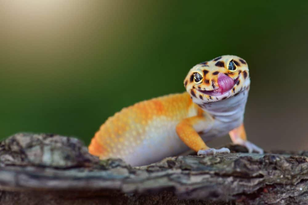 How Often Do Leopard Geckos Shed?